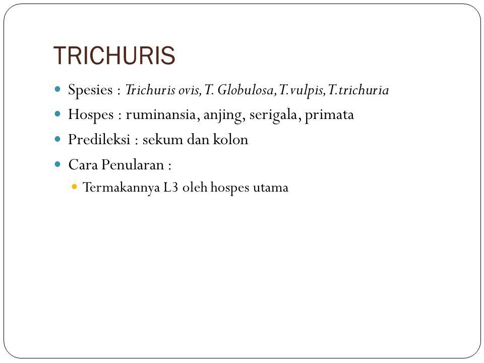 TRICHURIS Spesies : Trichuris ovis, T. Globulosa, T.vulpis, T.trichuria Hospes : ruminansia, anjing, serigala, primata Predileksi : sekum dan kolon Ca
