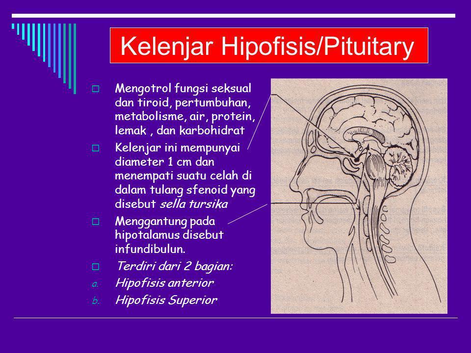 Kelenjar Hipofisis/Pituitary  Mengotrol fungsi seksual dan tiroid, pertumbuhan, metabolisme, air, protein, lemak, dan karbohidrat  Kelenjar ini memp