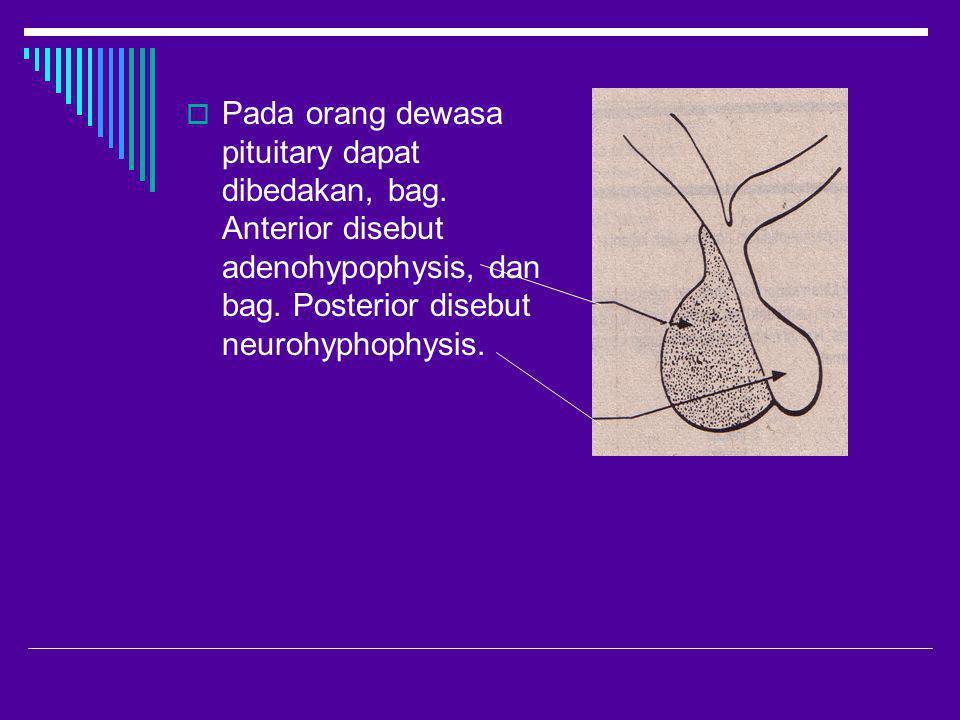  Pada orang dewasa pituitary dapat dibedakan, bag. Anterior disebut adenohypophysis, dan bag. Posterior disebut neurohyphophysis.