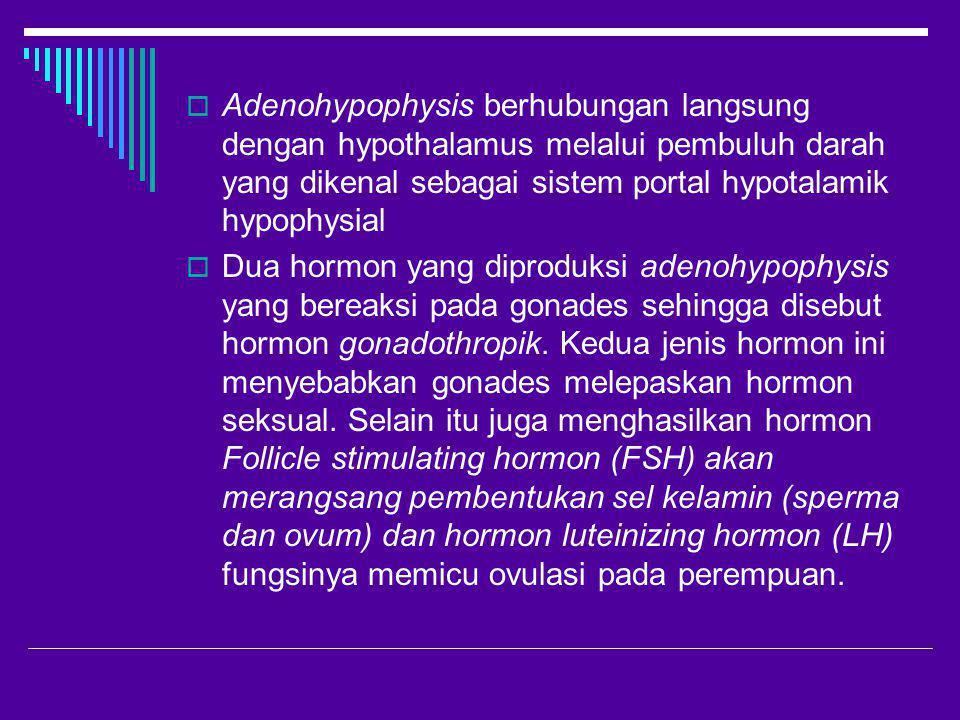  Adenohypophysis berhubungan langsung dengan hypothalamus melalui pembuluh darah yang dikenal sebagai sistem portal hypotalamik hypophysial  Dua hor