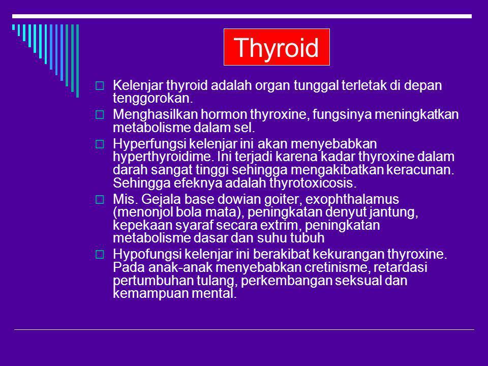 Thyroid  Kelenjar thyroid adalah organ tunggal terletak di depan tenggorokan.  Menghasilkan hormon thyroxine, fungsinya meningkatkan metabolisme dal