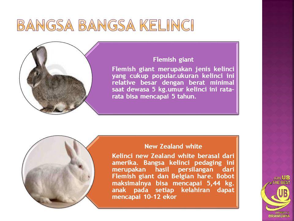 Flemish giant Flemish giant merupakan jenis kelinci yang cukup popular.ukuran kelinci ini relative besar dengan berat minimal saat dewasa 5 kg.umur kelinci ini rata– rata bisa mencapai 5 tahun.