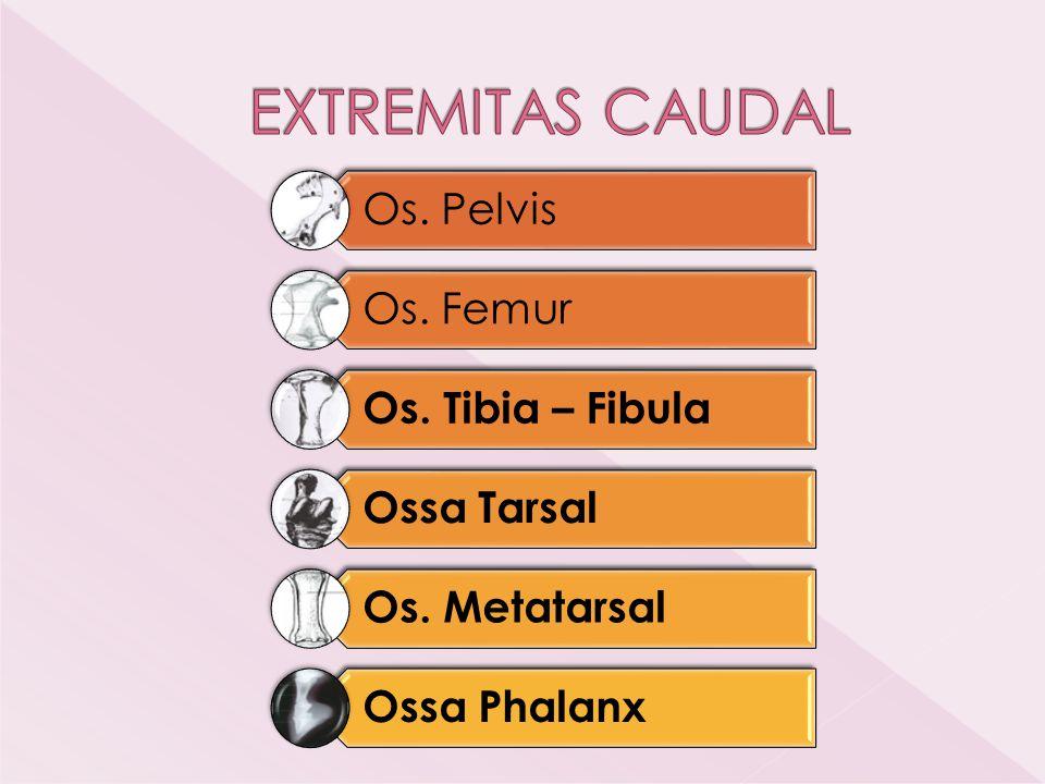  Baris proximal › Os tarsus tibialis = Os talus › Os tarsus fibularis = os calcaneus › Os tarsus centralis  Baris distal › Os tarsus I › Os tarsus II › Os tarsus III › Os tarsus IV