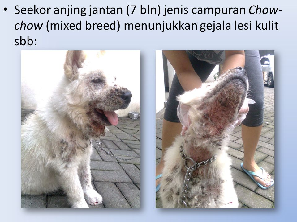 Seekor anjing jantan (7 bln) jenis campuran Chow- chow (mixed breed) menunjukkan gejala lesi kulit sbb: