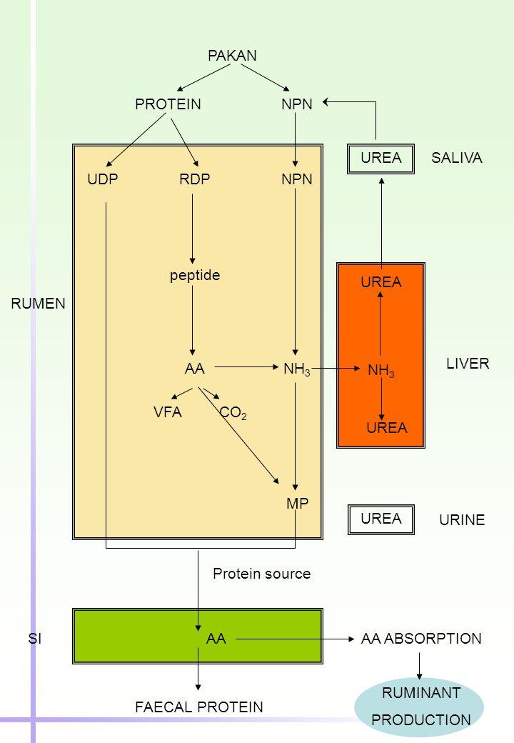 PAKAN PROTEINNPN UDPRDPNPN peptide AANH 3 VFACO 2 MP AA FAECAL PROTEIN AA ABSORPTION RUMINANT PRODUCTION UREA NH 3 UREA SALIVA LIVER UREA URINE Protei