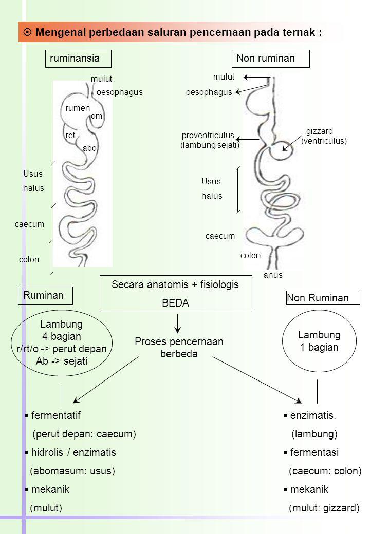  Mengenal perbedaan saluran pencernaan pada ternak : ruminansiaNon ruminan Ruminan Secara anatomis + fisiologis BEDA Non Ruminan Lambung 4 bagian r/rt/o -> perut depan Ab -> sejati Lambung 1 bagian Proses pencernaan berbeda  fermentatif (perut depan: caecum)  hidrolis / enzimatis (abomasum: usus)  mekanik (mulut)  enzimatis.