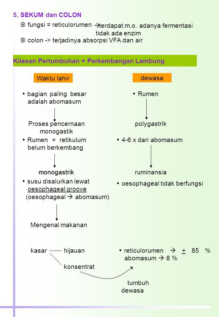 5. SEKUM dan COLON  fungsi = reticulorumen  colon -> terjadinya absorpsi VFA dan air  terdapat m.o. adanya fermentasi tidak ada enzim Kilasan Pertu