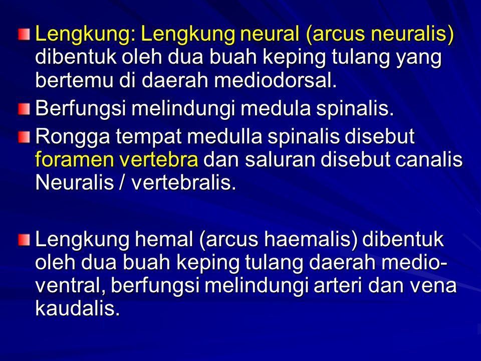 Lengkung: Lengkung neural (arcus neuralis) dibentuk oleh dua buah keping tulang yang bertemu di daerah mediodorsal. Berfungsi melindungi medula spina