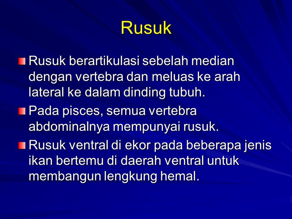 Rusuk Rusuk berartikulasi sebelah median dengan vertebra dan meluas ke arah lateral ke dalam dinding tubuh. Pada pisces, semua vertebra abdominalnya m