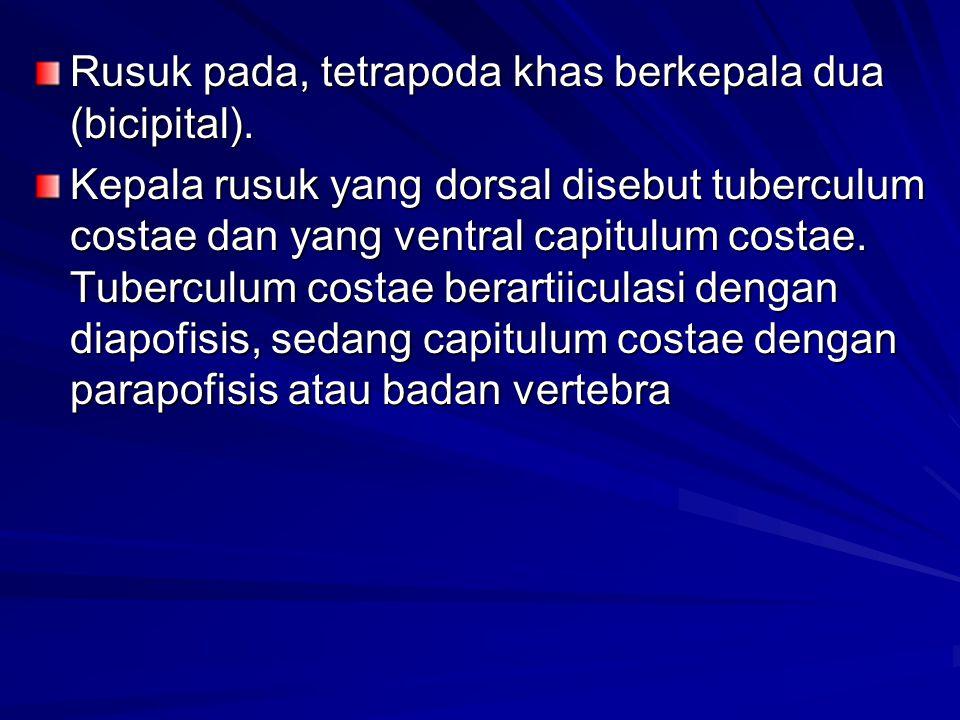 Rusuk pada, tetrapoda khas berkepala dua (bicipital). Kepala rusuk yang dorsal disebut tuberculum costae dan yang ventral capitulum costae. Tuberculum