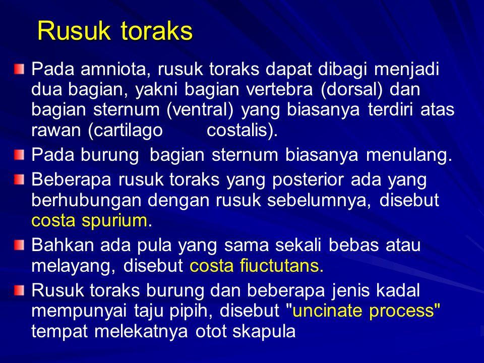 Rusuk toraks Pada amniota, rusuk toraks dapat dibagi menjadi dua bagian, yakni bagian vertebra (dorsal) dan bagian sternum (ventral) yang biasanya terdiri atas rawan (cartilagocostalis).