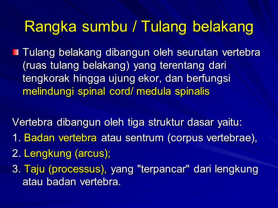 Rangka sumbu / Tulang belakang Tulang belakang dibangun oleh seurutan vertebra (ruas tulang belakang) yang terentang dari tengkorak hingga ujung ekor, dan berfungsi melindungi spinal cord/ medula spinalis Vertebra dibangun oleh tiga struktur dasar yaitu: 1.