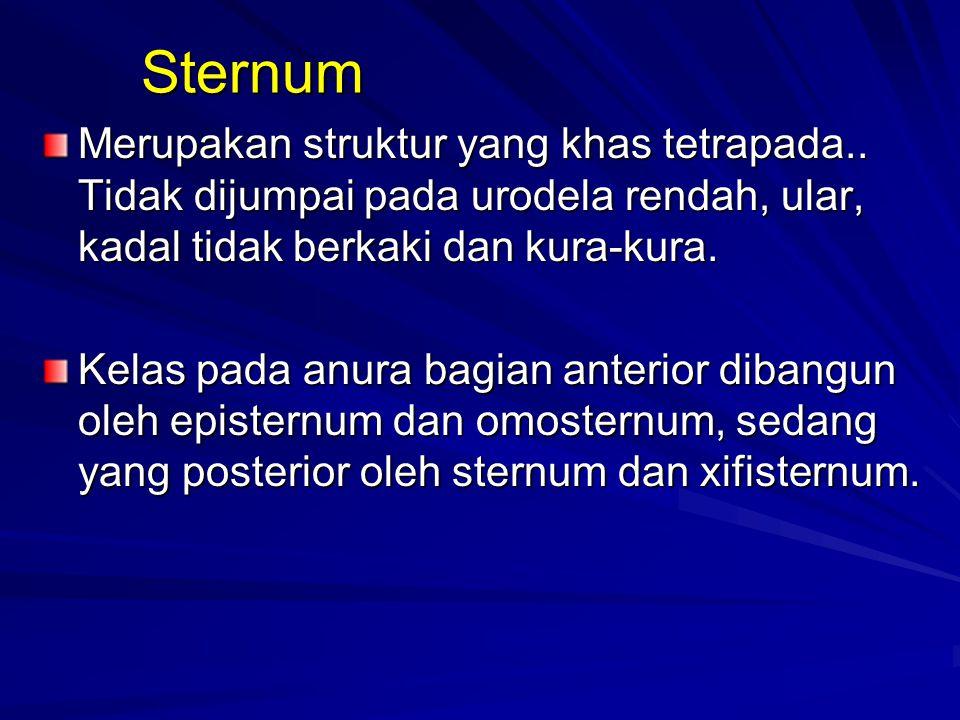 Sternum Merupakan struktur yang khas tetrapada.. Tidak dijumpai pada urodela rendah, ular, kadal tidak berkaki dan kura-kura. Kelas pada anura bagian