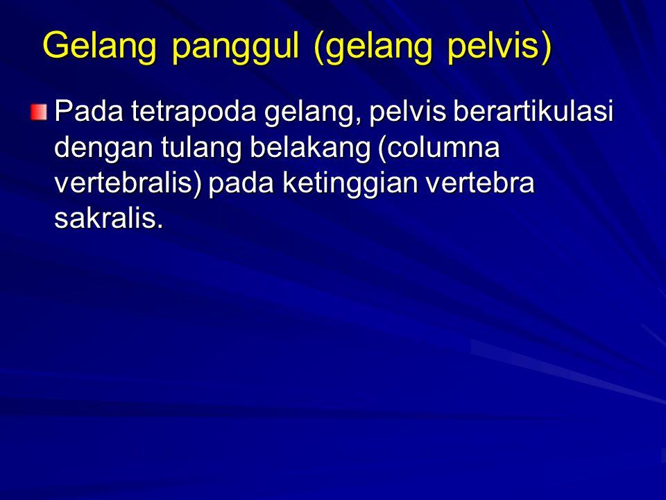 Gelang panggul (gelang pelvis) Pada tetrapoda gelang, pelvis berartikulasi dengan tulang belakang (columna vertebralis) pada ketinggian vertebra sakra