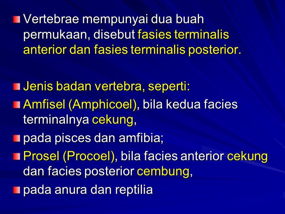 Vertebrae mempunyai dua buah permukaan, disebut fasies terminalis anterior dan fasies terminalis posterior. Jenis badan vertebra, seperti: Amfisel (Am