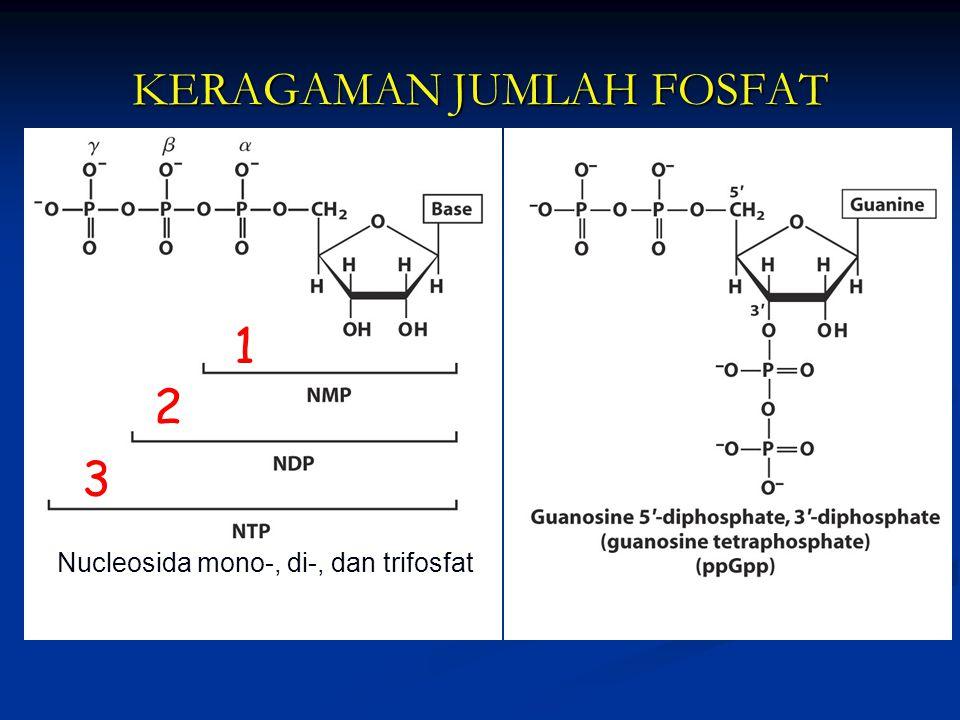KERAGAMAN JUMLAH FOSFAT 1 2 3 Nucleosida mono-, di-, dan trifosfat