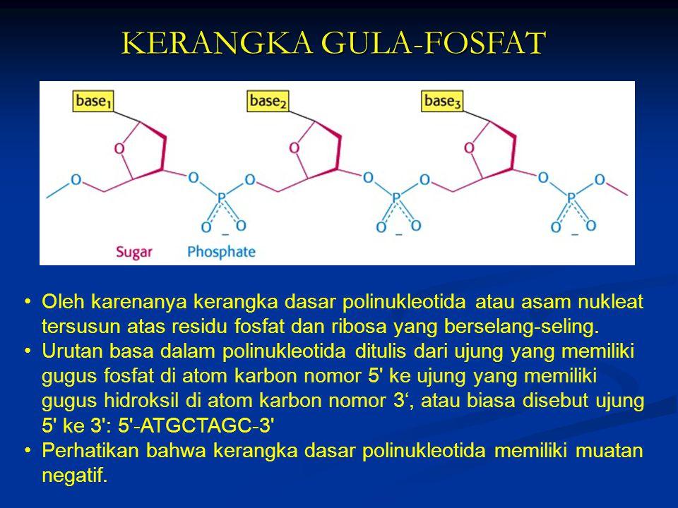 KERANGKA GULA-FOSFAT Oleh karenanya kerangka dasar polinukleotida atau asam nukleat tersusun atas residu fosfat dan ribosa yang berselang-seling. Urut