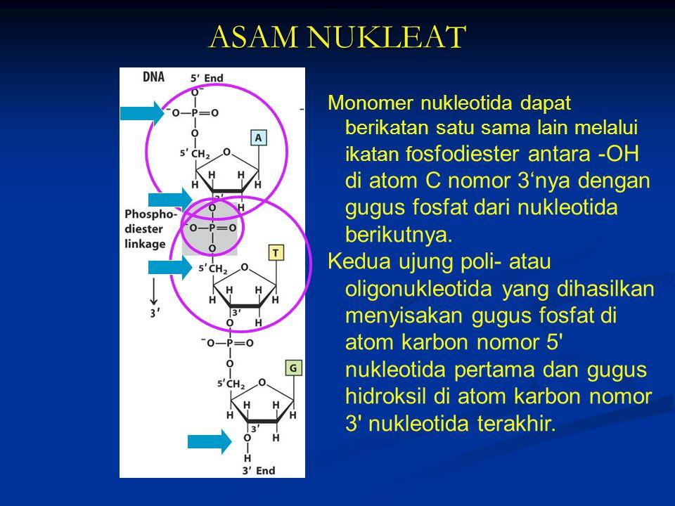 ASAM NUKLEAT Monomer nukleotida dapat berikatan satu sama lain melalui ikatan f osfodiester antara -OH di atom C nomor 3'nya dengan gugus fosfat dari