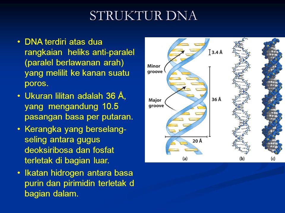 STRUKTUR DNA DNA terdiri atas dua rangkaian heliks anti-paralel (paralel berlawanan arah) yang melilit ke kanan suatu poros. Ukuran lilitan adalah 36