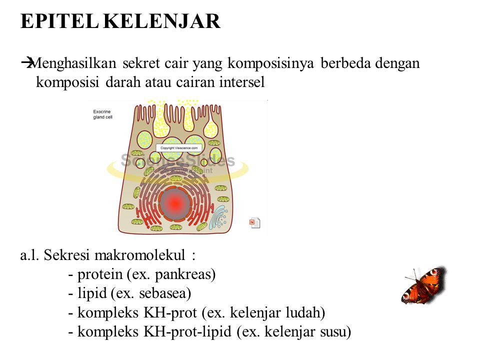EPITEL KELENJAR  Menghasilkan sekret cair yang komposisinya berbeda dengan komposisi darah atau cairan intersel a.l. Sekresi makromolekul : - protein