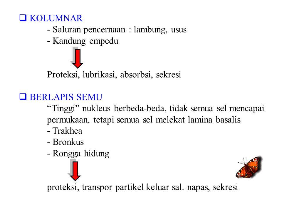 """ KOLUMNAR - Saluran pencernaan : lambung, usus - Kandung empedu Proteksi, lubrikasi, absorbsi, sekresi  BERLAPIS SEMU """"Tinggi"""" nukleus berbeda-beda,"""