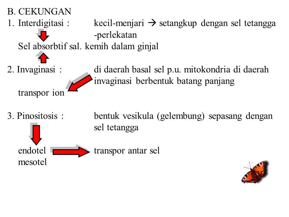 B. CEKUNGAN 1.Interdigitasi :kecil-menjari  setangkup dengan sel tetangga -perlekatan Sel absorbtif sal. kemih dalam ginjal 2. Invaginasi : di daerah