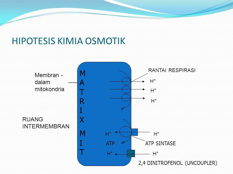 HIPOTESIS KIMIA OSMOTIK RUANG INTERMEMBRAN NADH + O2 RANTAI RESPIRASI H + H + H + NAD + + H2O ADP + Pi Membran - dalam ----- mitokondria MATRIXMITMATR