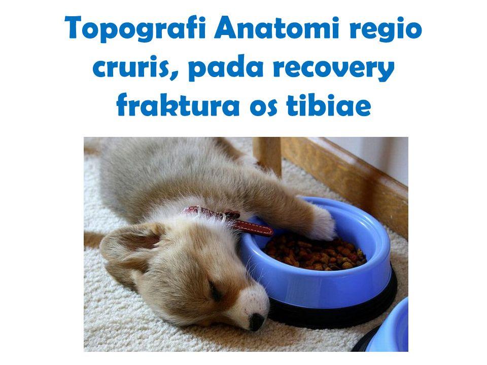 Topografi Anatomi regio cruris, pada recovery fraktura os tibiae
