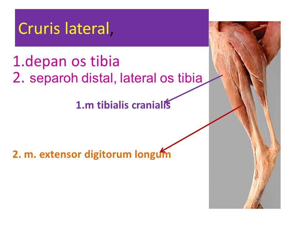 Cruris lateral, 1.m tibialis cranialis 2. m. extensor digitorum longum 1.depan os tibia 2. separoh distal, lateral os tibia