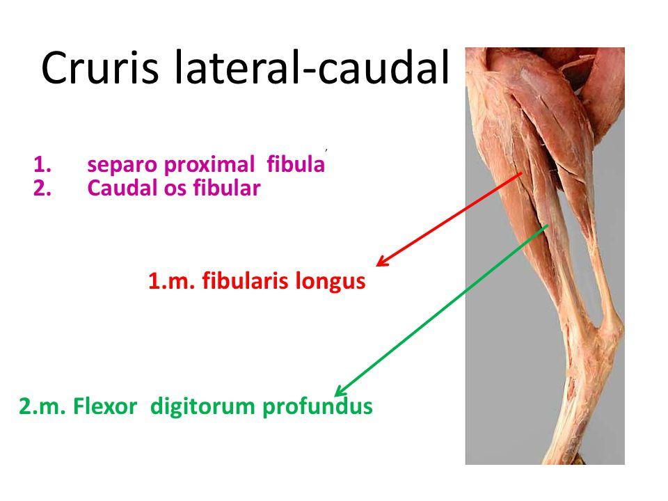 Cruris lateral-caudal 1.m. fibularis longus 2.m. Flexor digitorum profundus, 1.separo proximal fibula 2.Caudal os fibular