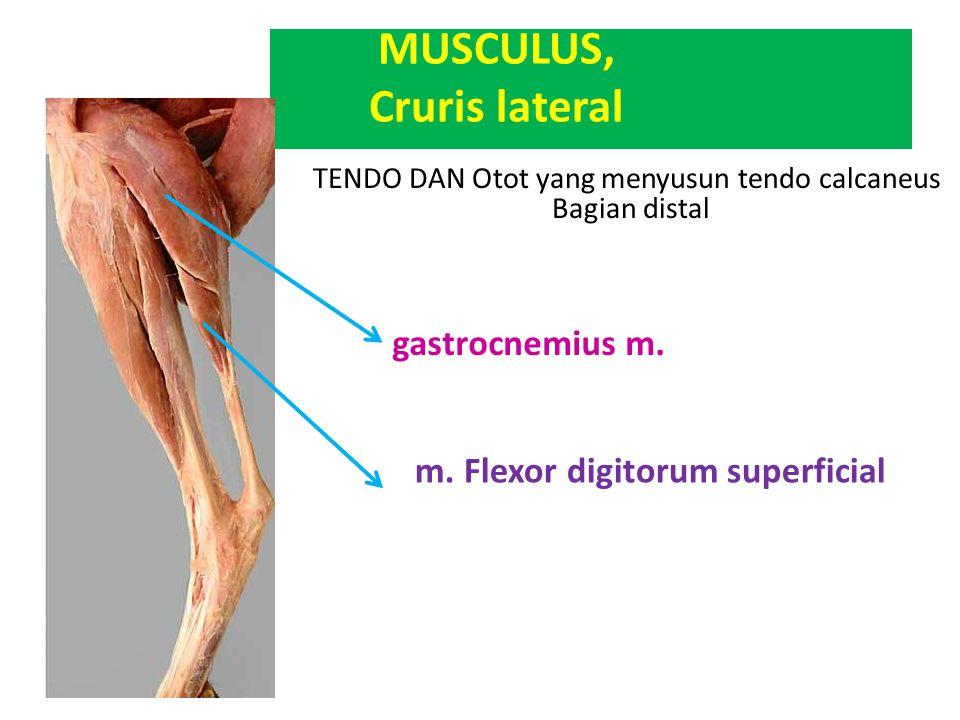 TENDO DAN Otot yang menyusun tendo calcaneus Bagian distal gastrocnemius m. m. Flexor digitorum superficial MUSCULUS, Cruris lateral