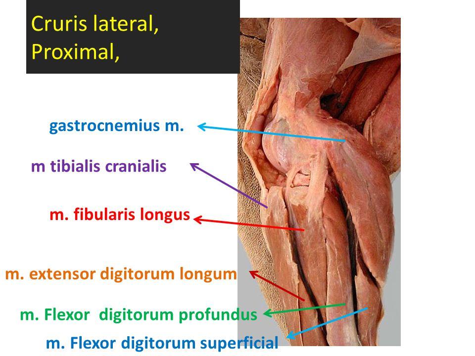 Cruris lateral, Proximal, m. extensor digitorum longum m tibialis cranialis m. Flexor digitorum profundus m. fibularis longus gastrocnemius m. m. Flex