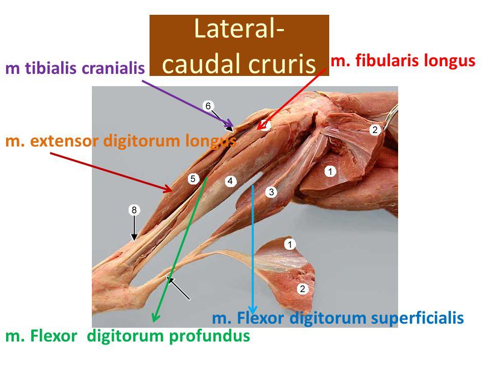 Lateral- caudal cruris m. extensor digitorum longus m tibialis cranialis m. Flexor digitorum profundus m. fibularis longus m. Flexor digitorum superfi