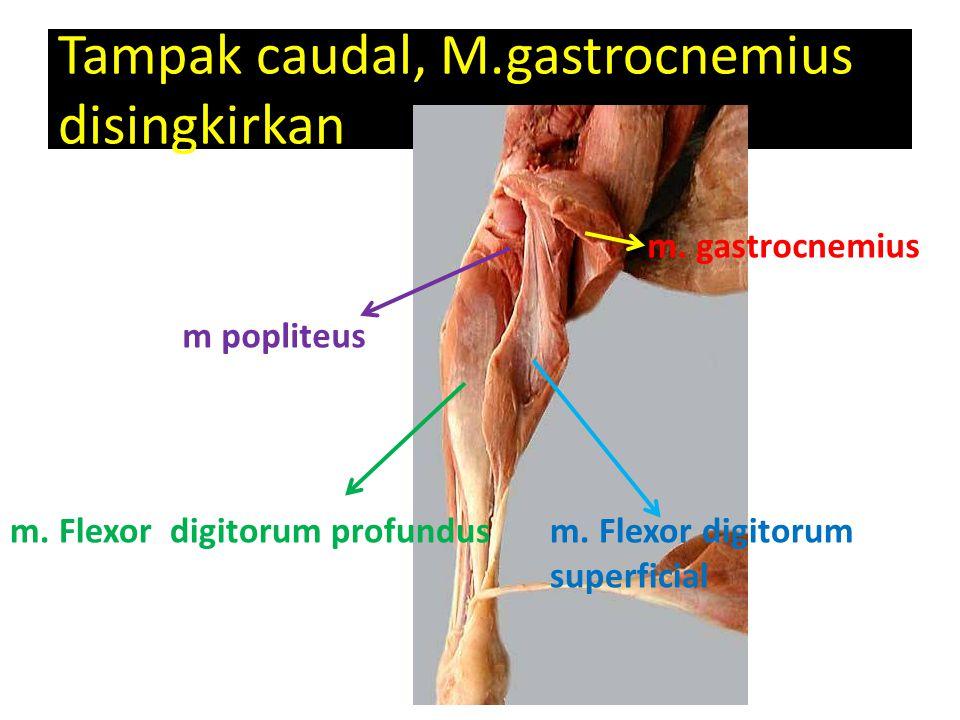 Tampak caudal, M.gastrocnemius disingkirkan m popliteus m. Flexor digitorum profundus m. gastrocnemius m. Flexor digitorum superficial