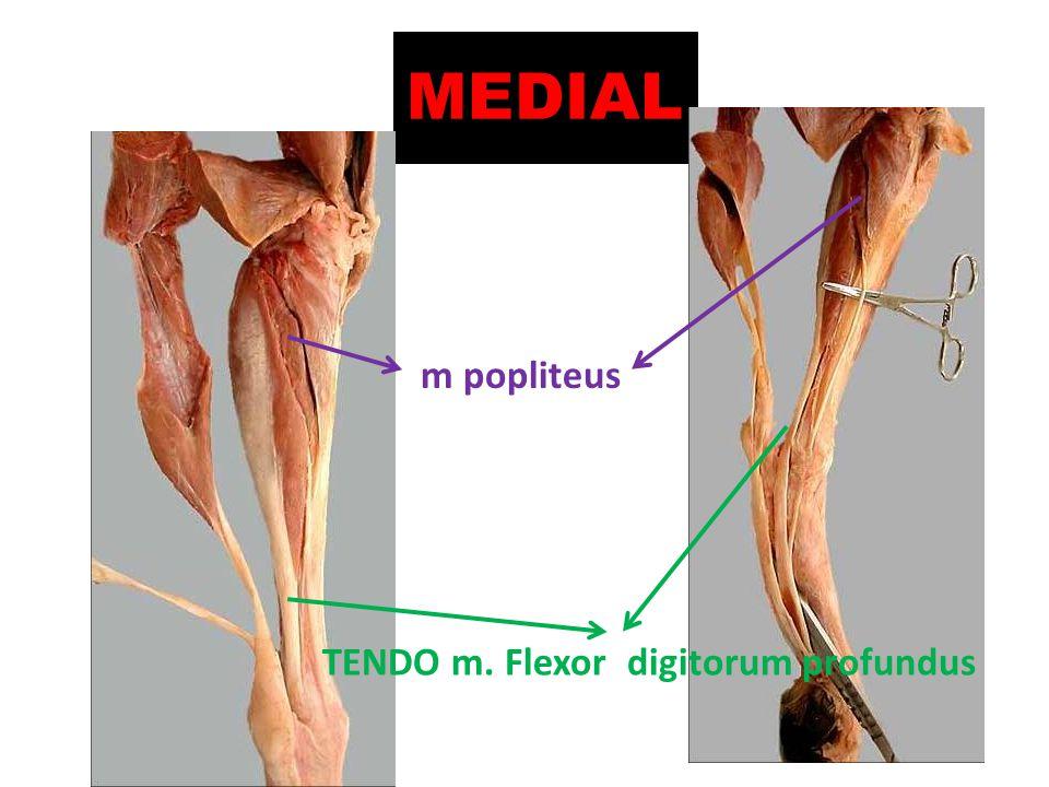 MEDIAL m popliteus TENDO m. Flexor digitorum profundus