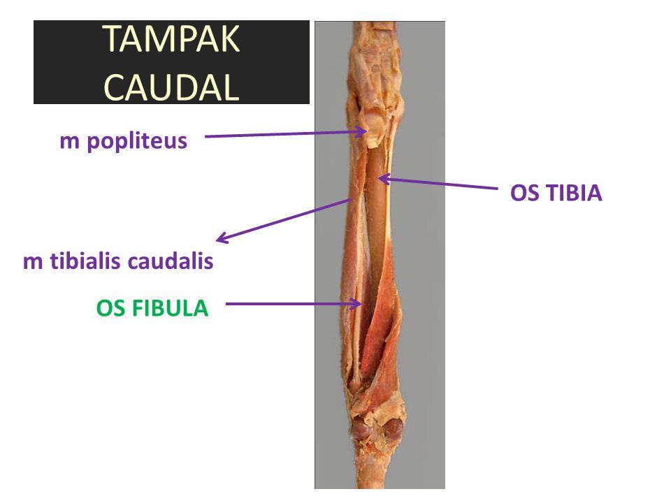 TAMPAK CAUDAL OS TIBIA OS FIBULA m tibialis caudalis m popliteus