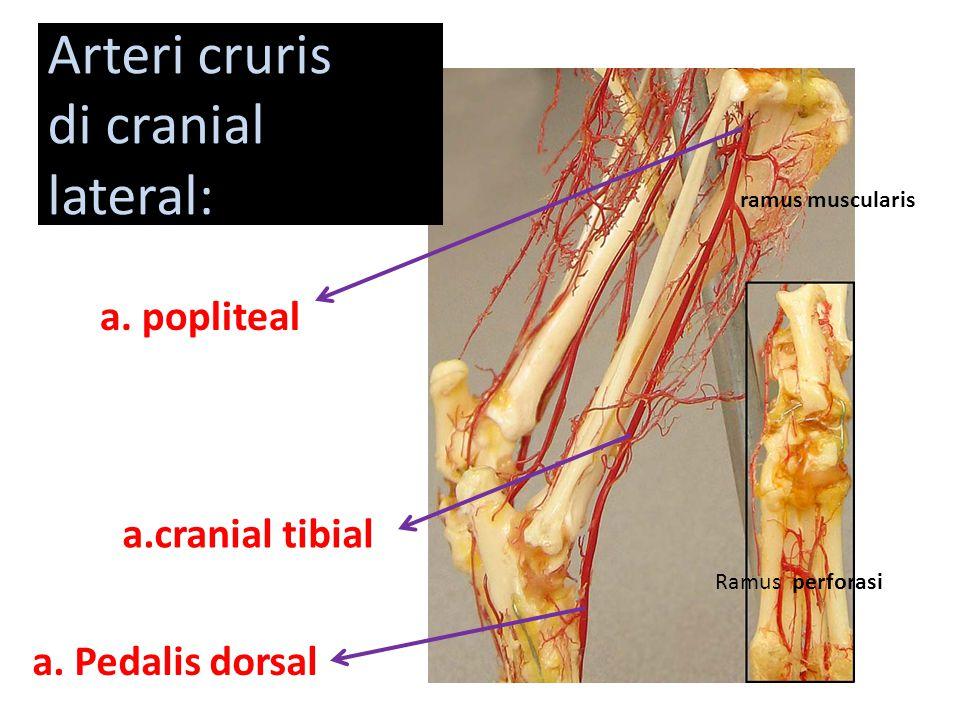 a. popliteal a.cranial tibial a. Pedalis dorsal Ramus perforasi ramus muscularis Arteri cruris di cranial lateral: