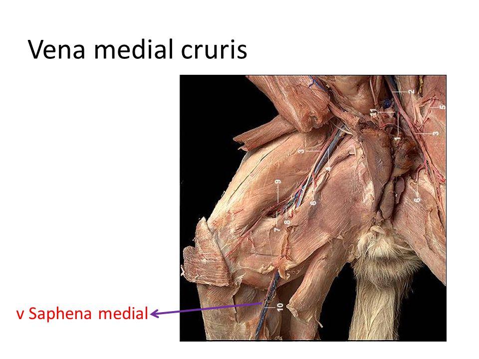 Vena medial cruris v Saphena medial
