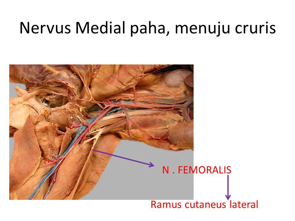Nervus Medial paha, menuju cruris N. FEMORALIS Ramus cutaneus lateral