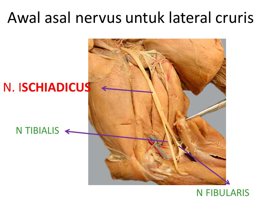 Awal asal nervus untuk lateral cruris N. ISCHIADICUS N TIBIALIS N FIBULARIS