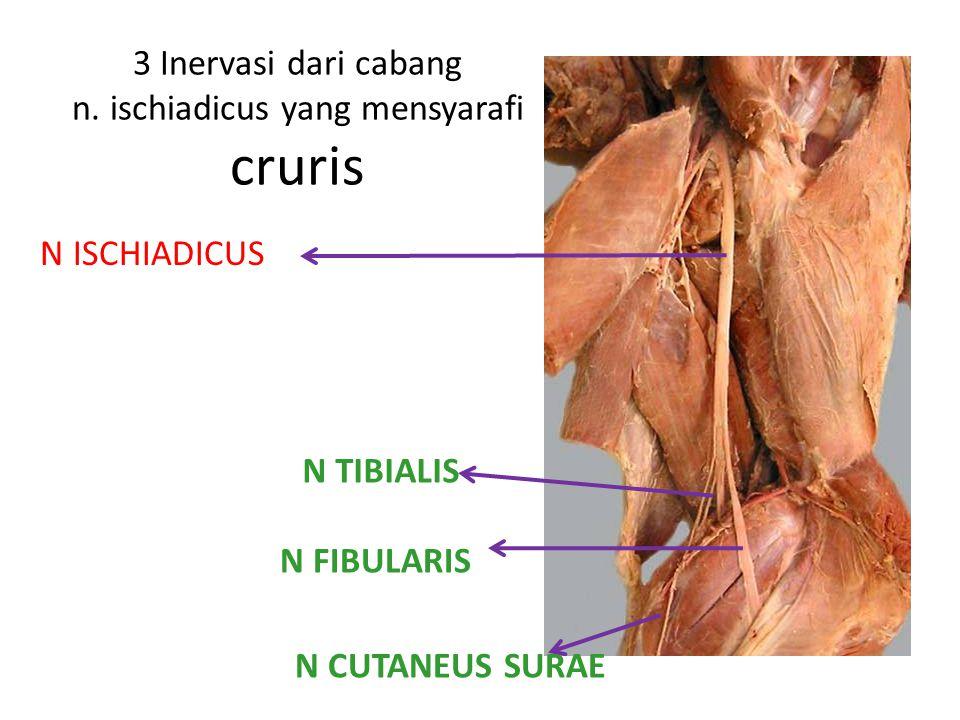 3 Inervasi dari cabang n. ischiadicus yang mensyarafi cruris N ISCHIADICUS N FIBULARIS N TIBIALIS N CUTANEUS SURAE