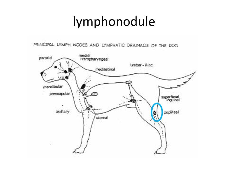 lymphonodule