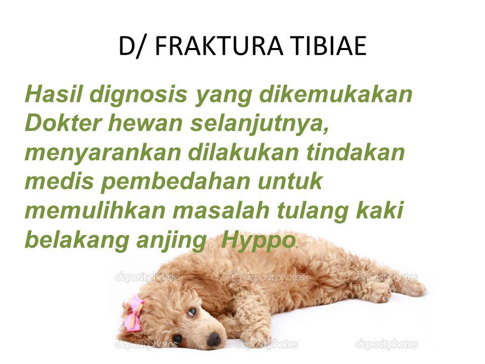 D/ FRAKTURA TIBIAE Hasil dignosis yang dikemukakan Dokter hewan selanjutnya, menyarankan dilakukan tindakan medis pembedahan untuk memulihkan masalah tulang kaki belakang anjing Hyppo.