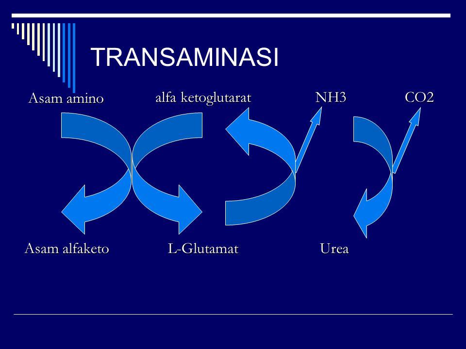 TRANSAMINASI Asam amino alfa ketoglutarat CO2 Asam alfaketo L-Glutamat Urea NH3