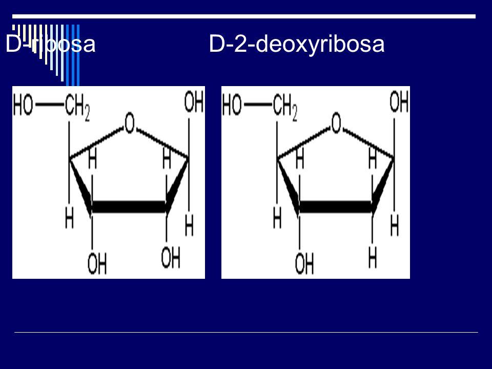 D-ribosa D-2-deoxyribosa