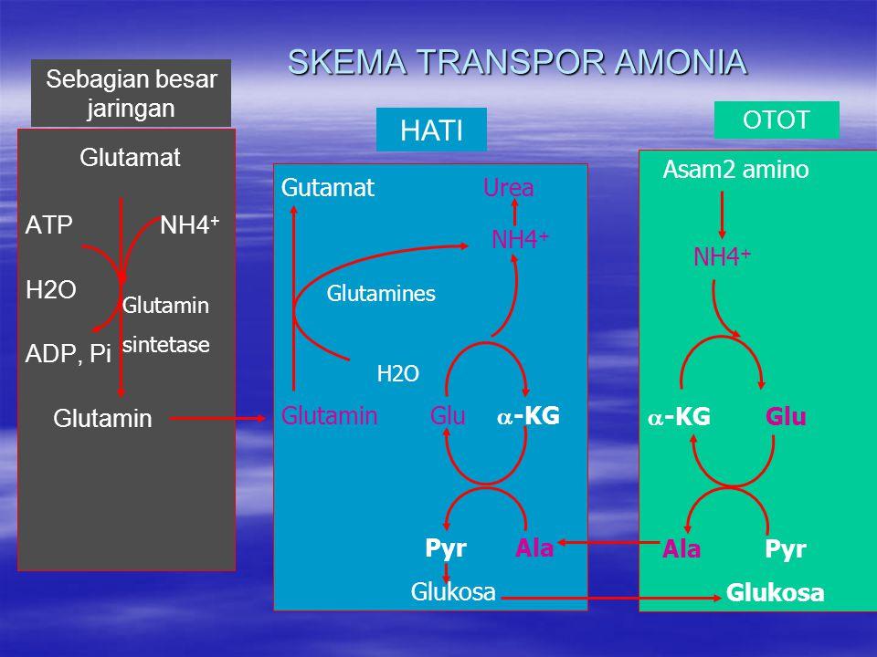 SKEMA TRANSPOR AMONIA Glutamat ATP NH4 + H2O ADP, Pi Glutamin Gutamat Urea NH4 + Glutamines H2O Glutamin Glu  -KG Pyr Ala Glukosa Asam2 amino NH4 +  -KG Glu Ala Pyr Glukosa Glutamin sintetase Sebagian besar jaringan HATI OTOT