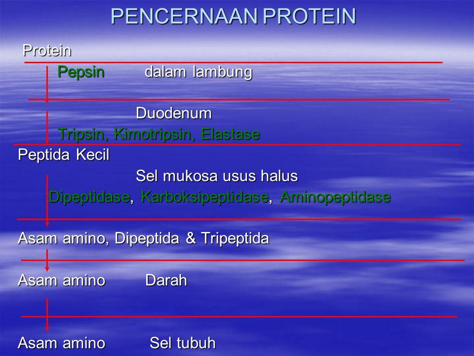 PENCERNAAN PROTEIN Protein Protein Pepsin dalam lambung Pepsin dalam lambung Duodenum Duodenum Tripsin, Kimotripsin, Elastase Tripsin, Kimotripsin, Elastase Peptida Kecil Peptida Kecil Sel mukosa usus halus Sel mukosa usus halus Dipeptidase, Karboksipeptidase, Aminopeptidase Dipeptidase, Karboksipeptidase, Aminopeptidase Asam amino, Dipeptida & Tripeptida Asam amino, Dipeptida & Tripeptida Asam amino Darah Asam amino Darah Asam amino Sel tubuh Asam amino Sel tubuh