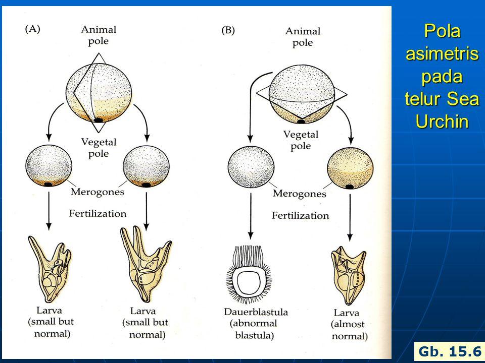 Pola asimetris pada telur Sea Urchin Gb. 15.6