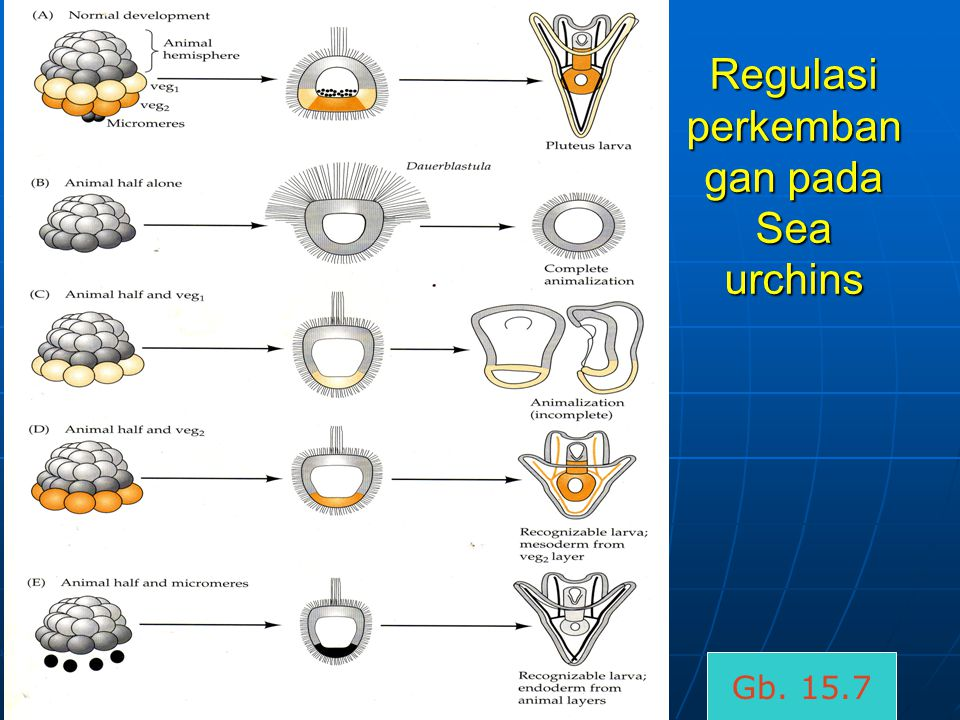 Regulasi perkemban gan pada Sea urchins Gb. 15.7