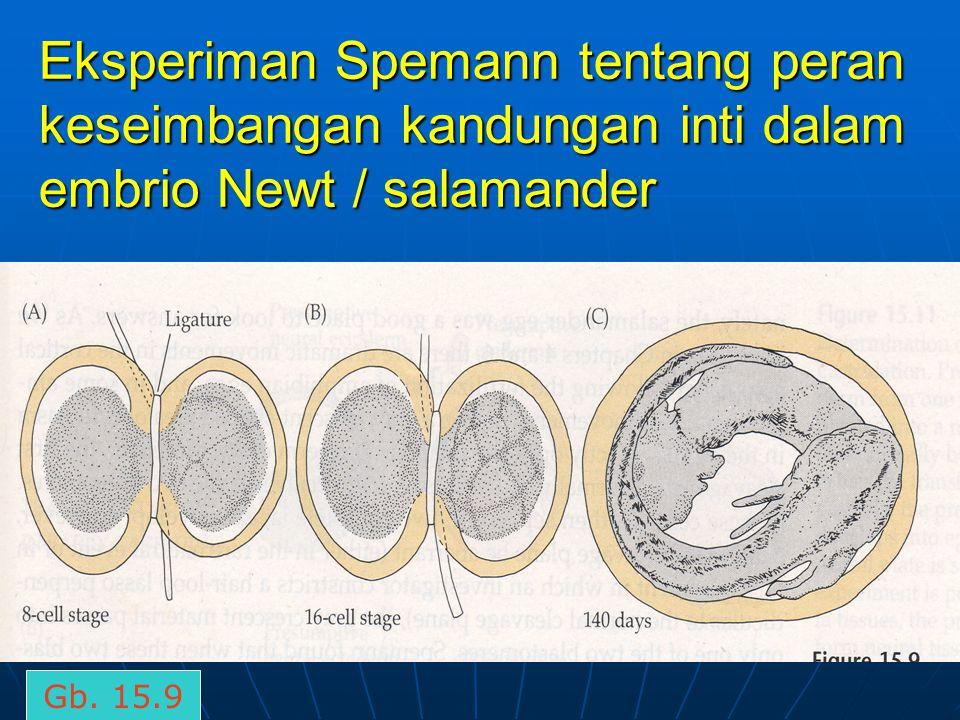Eksperiman Spemann tentang peran keseimbangan kandungan inti dalam embrio Newt / salamander Gb. 15.9